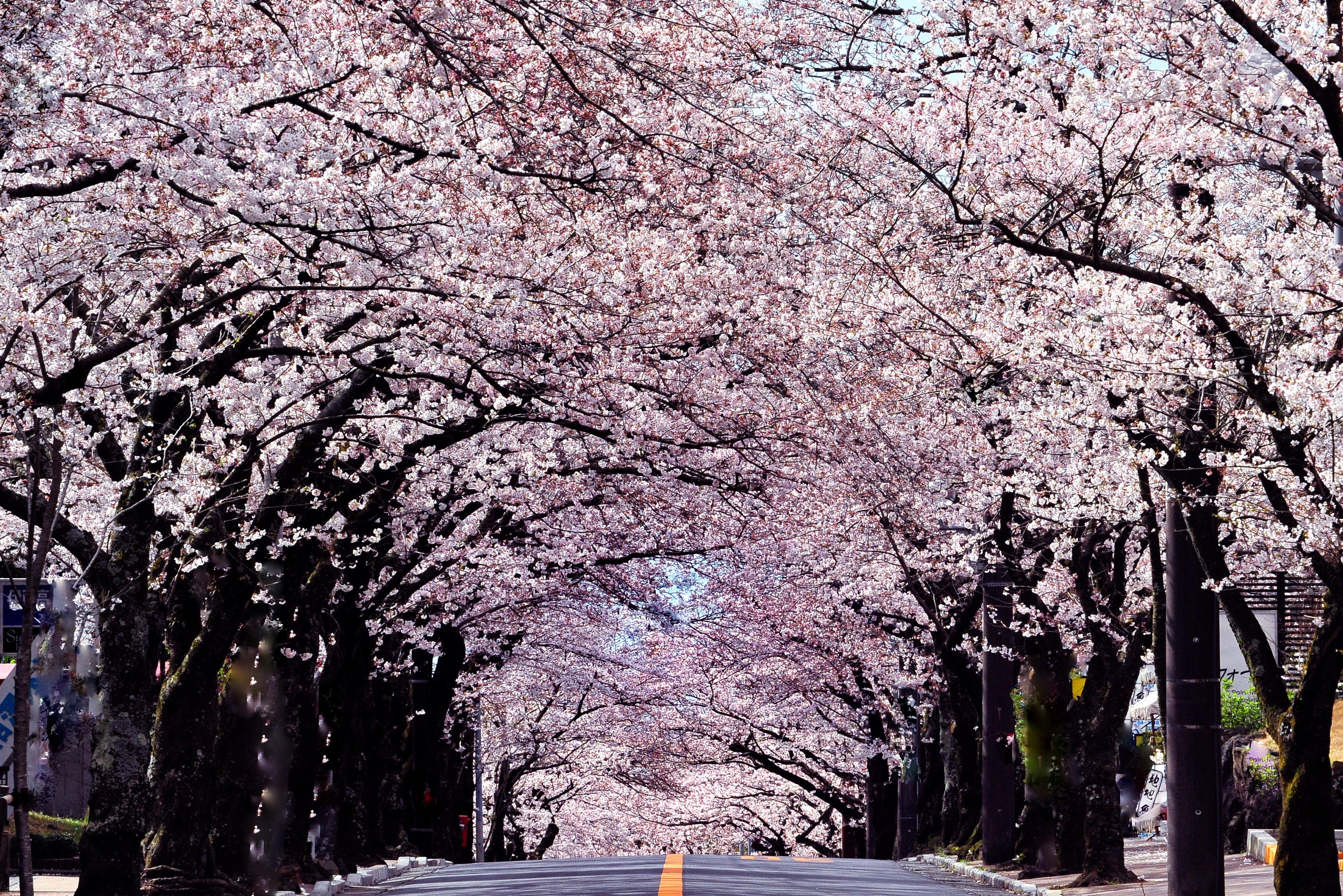 「伊豆高原櫻並木」的圖片搜尋結果